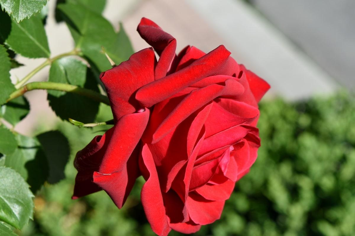 Podar las rosas